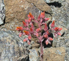 Serpentine Dudleya (Jeff Goddard 32) Tags: wildflowers midlandschoolproperty santabarbaracounty sanrafaelmountains california bee anthophora anthophoracalifornica dudleya pollinator dudleyalanceolata southerncaliforniadudleya