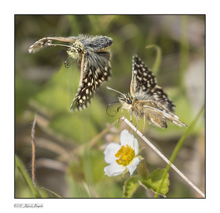 Grizzled Skipper butterfly takes flight (montage) [Explored]