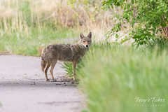 May 7, 2017 - A Coyote on a Thornton trail. (Tony's Takes)