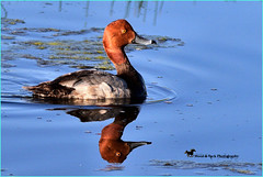 THE REDHEAD ... (Aspenbreeze) Tags: redheadedduck duck wildlife duckswimming reflection lake water coloradowildlife migration swim nature bird wildbird bevzuerlein aspenbreeze moonandbackphotography