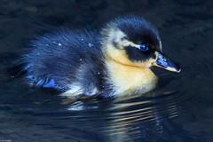 Mallard duckling (Anas platyrhynchos) (iancooper6) Tags: middlebrookvalleytrail bolton uk birds animal nature wildlife outdoor mallardduckling rivercroal anas anasplatyrhynchos duck mallard