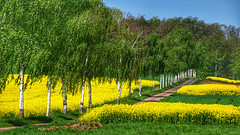 Birch alley (RainerSchuetz) Tags: spring trees avenue canolafield rapefield agriculture
