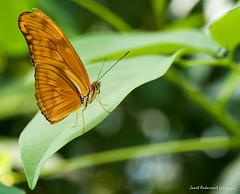 JM foto75-122 (janetankersmit) Tags: 2017 vlinders vlindertuin zutphen