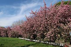 Cherry Blossoms (jschumacher) Tags: newjersey paterson patersonnewjersey patersongreatfallsnationalhistoricpark greatfalls flowers cherryblossoms pink