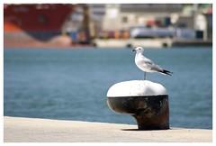 Seagull in marinia (ploppythekangaroo) Tags: mahon mao menorca seagull spain