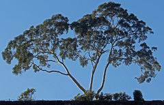 Tree (iansand) Tags: woolwich tree eucalypt gumtree
