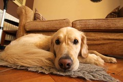 wide lens 006 (Helen H) Tags: widelens amber dog goldie goldenretriever home snooze