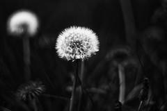 Worms eye view 😉 (scarbrog) Tags: seed dandelion groundlevel blackandwhite mono monochrome