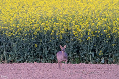 Chevreuil et colza (Richard Holding) Tags: animal campagne champ chevreuil countryside deer field m43 nature olympus omd roe wildlife