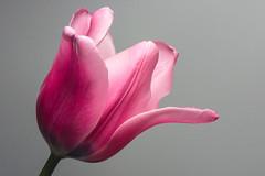 20170417_KCS_1127-2 (kaylaclare) Tags: flowers macro pink