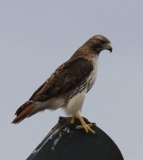 Red-tailed Hawk [borealis] (Buteo jamaicensis borealis) 02-22-2017 Salisbury Landfill, Wicomico Co. MD 6