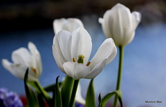 White tulips (mootzie) Tags: flowers tulips vase window sea blue glass green leaves stems petals white