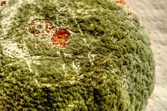 Penicillium digitatum - Green mold in orange (paweesit) Tags: mold greenmold penicilliumdigitatum orange fruit citrus disease fungus infection spores green