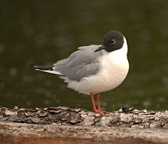 _DSC9323 Bonaparte Gull on Log (Wayne Duke 76) Tags: