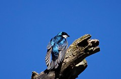 Tree Swallow Male (jerrygabby1) Tags: