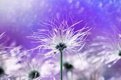 Be the milky way (Ans van de Sluis) Tags: flower bokeh bokehlicious floral flora botanic botanical ansvandesluis fineart milkyway macro light