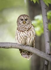 Hooter... (DTT67) Tags: barred owl barredowl bird wildlife nature nationalgeographic canon 1dxmkii 500mmii maryland