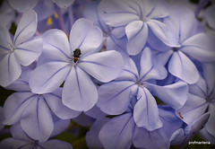 1-DSC_6108  plumbago with insect ( in explore) (profmarilena) Tags: plumbago plumbagowithinsect blue