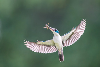 Collared Kingfisher in flight