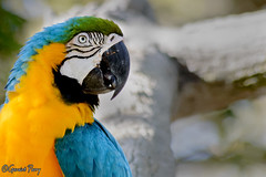 Macaw (parry101) Tags: animal animals tampa flordia us usa america busch gardens buschgardens nature outdoor geraint parry geraintparry bird birds macaw macaws parrot parrots blue yellow green
