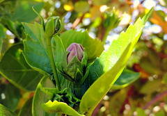 Waiting (Khaled M. K. HEGAZY) Tags: nikon coolpix p520 rassedr egypt nature outdoor closeup macro hibiscus plant flower bud tree leaf leaves foliage green yellow white violet purple