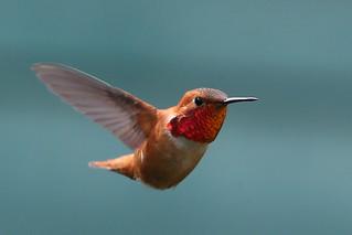 Hummingbird hover  :)