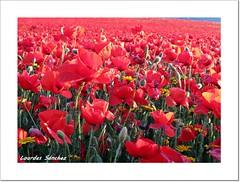 Amapolas (Lourdes S.C.) Tags: flores flowers amapolas campodeamapolas naturaleza