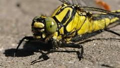 come mamma ti ha fatto... (andrea.zanaboni) Tags: libellula libellulagialla giallo nero giallonero dragonfly yellow occhi eyes nikon macro insetti insects predatore