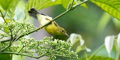 20170404-7D2_1011 (shutterblades) Tags: birds canon100400lmkii canon7d2 kranjimarshes olivebackedsunbird