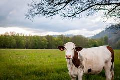 Cow (jeromiko88) Tags: cow vache landscape paysage ferme campagne blanc white brun arbre tree nature love france europe world animal portrait beautiful photography nikon d300