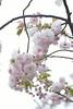 Prunus lannesiana 'Hisakura' (Masaoki Hirai) Tags: prunus cerasus rosaceae elmaritr135mmf28 cherryblossoms