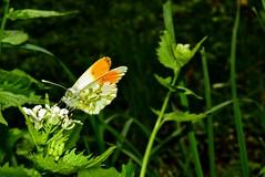 butterfly Orange Tip - Anthocharis cardamines Кардаминова пеперуда DSC_0028 (Me now0) Tags: софиябългарияевропа юженпарк никонд5300 китовобектив 1855mmf3556 цвете afternoon пролет spring europe nikond5300 basiclens park orangetip anthochariscardamines кардаминовапеперуда butterfly пеперуда alliariapetiolata лъжичината чесноватрева insect насекомо