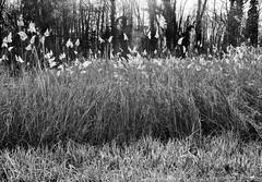 Roseaux en contrejour (mapleweiss) Tags: roseaux