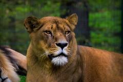 The Queen (nicoheinrich86) Tags: closeup wildcats cat animal wild löwin löwen lion