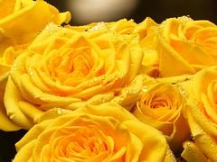 Yellow Roses (Creative_Light_Photography) Tags: roses rose yellow d800e d800 nikon alienbees buff c paul beautydish macro strobist stacking stack steak focus focusstack