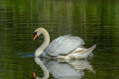 Cygnus olor, Cygne tuberculé (rubenreyR) Tags: oiseau bird cygnus olor cygne tuberculé blanc poussin