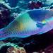 Fivesaddle Parrotfish, terminal phase - Scarus scaber