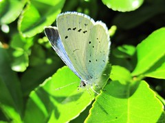 """Holly Blue"" (seanwalsh4) Tags: femalehollybluebutterfly egglaying beautiful nice delicate happy insect blue seanwalsh nature fauna flutter fluttering small bristol canon macro closeup redcotoneaster 7dwf wednesdaymacrocloseup adorable sweet"