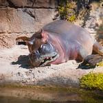 Happy Hippo thumbnail