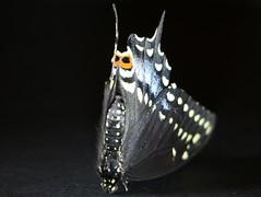 Open your eyes wide... Macro Mondays (Eyes) (francepar95) Tags: macromondayseyes butterfly mimicry fondnoir papillon yeux hmm oeil mimétisme