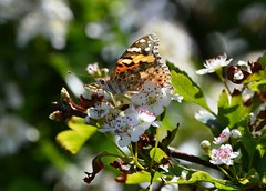 Painted Lady (Bazza3000) Tags: vanessacardui paintedlady butterfly insect