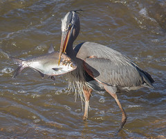 IMG_3998 Great Blue Heron (cmsheehyjr) Tags: cmsheehy colemansheehy nature wildlife bird heron greatblueheron floodwall richmond virginia ardeaherodias jamesriver