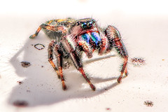 Jumper and His Shadow (Explored) (Neil_Wagner) Tags: spider jumping jumpingspider stack