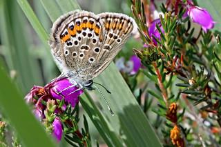 Plebeius argus - the Silver-studded Blue (female)