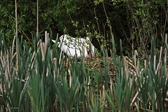 swan J78A1134 (M0JRA) Tags: langold lake lakes water birds ponds trees swans nests