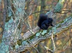 Black Squirrel on a Tree with Texture (michael_e437) Tags: squirrel blacksquirrel eyes tree texture moss lichens bark deadwood softlight warmlight curious friend woods forrest 3dimensional whiskers fur filteredlight 3pointsofcontact green grey orange yellow black ears gatheringnuts
