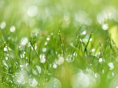Morning Magic (nikagnew) Tags: grass green dew bokeh droplets wet may sparkle vivid vibrant macro sootc light spring morning sunlight lawn inmybackyard