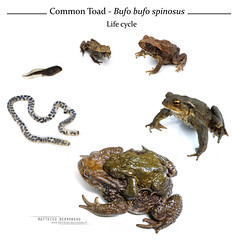 Growth stages of Common toad (MP7Aquit) Tags: 64 amphibien bufo anoure blanc commun crapaud fond pyrénéesatlantiques spinosus nature herpéto herpeto amphibia amphibian anoura tail less amphibians animal animaux white fondblanc highkey growth stade stage tadpole adult young juvenile metamorphose croissance developpement bufobufo bufobufospinosus bufospinosus crapaudcommun crapaudépineux mediterraneancommontoad commontoad high key textbook