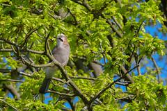 Eichelhäher (Oerliuschi) Tags: eichelhäher birds garrulusglandarius rabenvogel singvogel baum ast blätter rieselfelderwindel