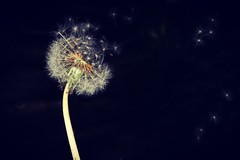 Wishes ... (trudymurton) Tags: dandelion wish nature clock wishes